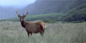 roosevelt elk standing in tall grass in prairie creek redwood park